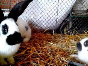conigli domestici, animali, spettacolo
