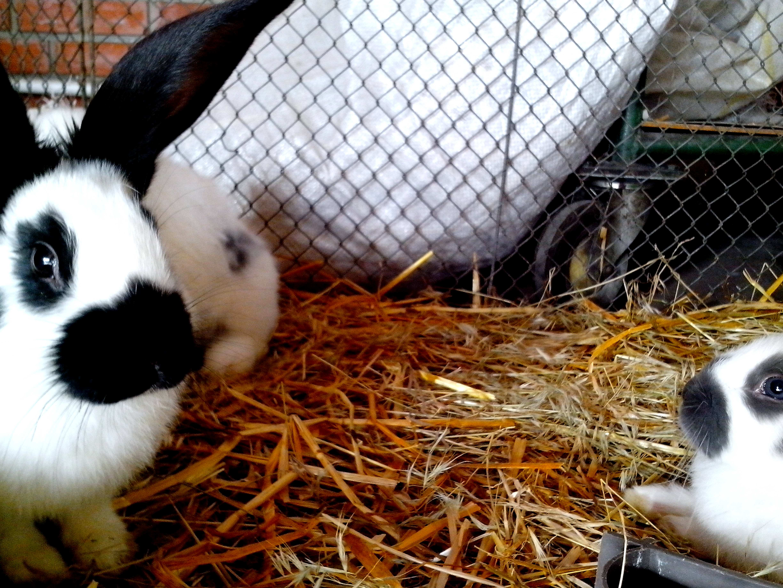 Free photograph; domestic, rabbits, animal, show