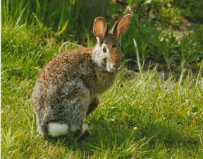 cottonail, rabbit, up-close, sylvilagus, floridanus
