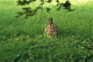 cottontail, rabbit, grass