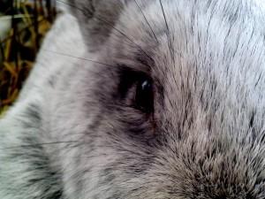 ojo, de cerca, lindo, conejo