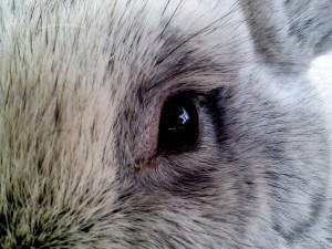 Auge, aus der Nähe, Kaninchen