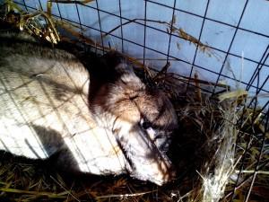 gray, rabbit, lying, straw