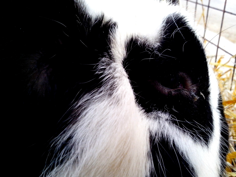 Free photograph; head, black, white, rabbit