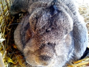 head, domestic rabbit