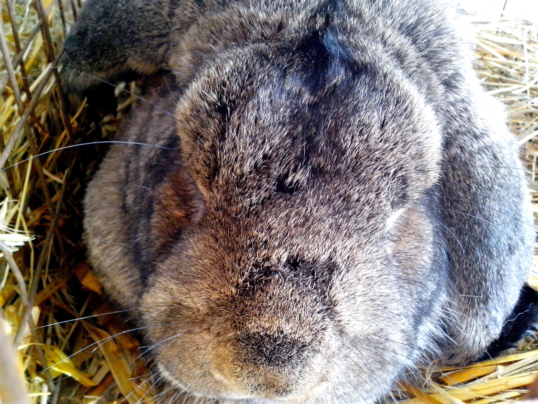 Free photograph; head, domestic, rabbit