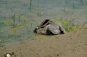 jackrabbit, water