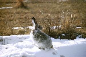 jackrabbit, lapin, neige