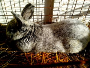 large, domestic rabbit, lying, straw