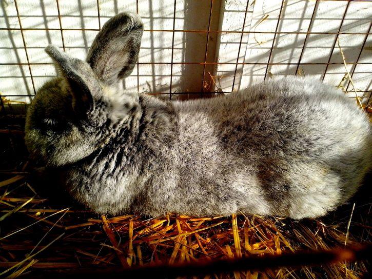 large, domestic, rabbit, lying, straw