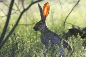 herbe, lapin, animal, mammifère
