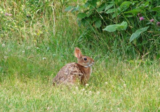 Nueva Inglaterra, de rabo blanco, conejo, animal, sylvilagus, transitionalis