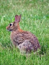 lapin, animal, sylvilagus, floridanus, mammifère, lapin, herbe, sauvage