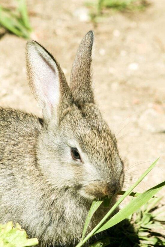 conejo, la alimentación, la hierba