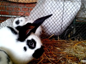 rabbit, cage