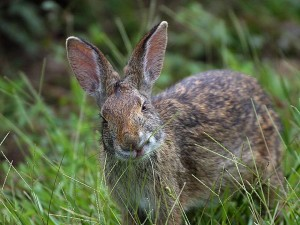 rabbit, Louisiana
