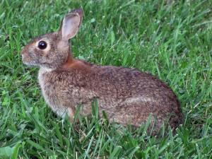 coniglio, la primavera, l'erba