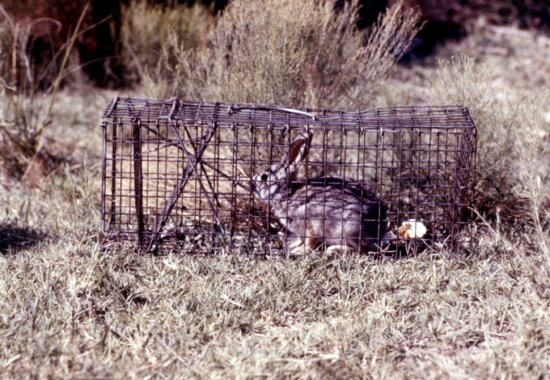conejo, atrapado, nacional, trampa, después, probado, arbovirus, estudio