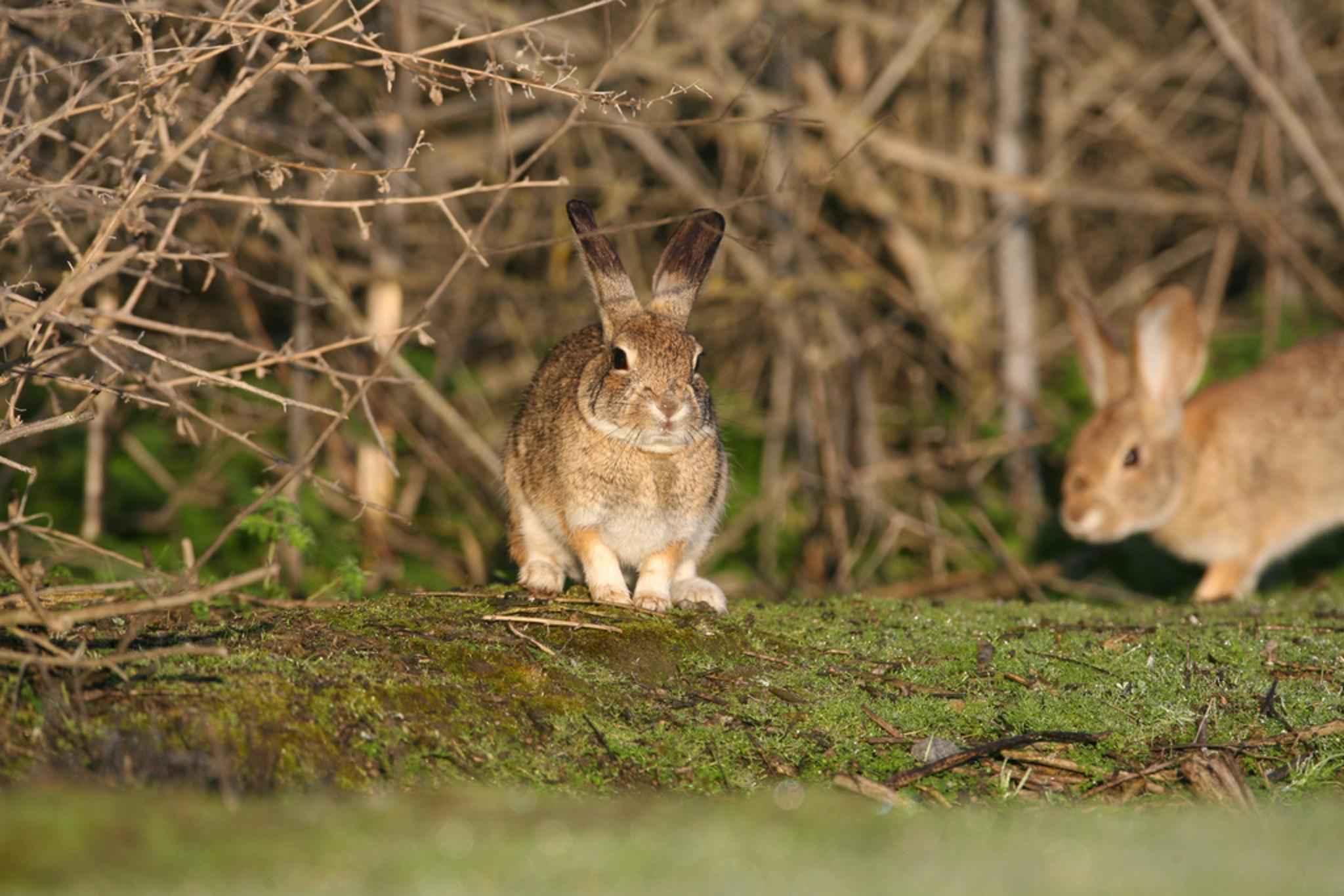 Free Picture Riparian Brush Rabbits Endengered Mammal