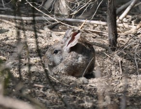 Fluss-, Pinsel, rabbitt, sylvilagus, bachmani, riparius