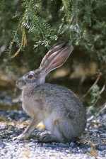 side, up-close, rabbit, sitting, gravel, brush