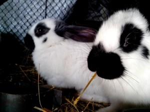 manis, kelinci, hewan peliharaan