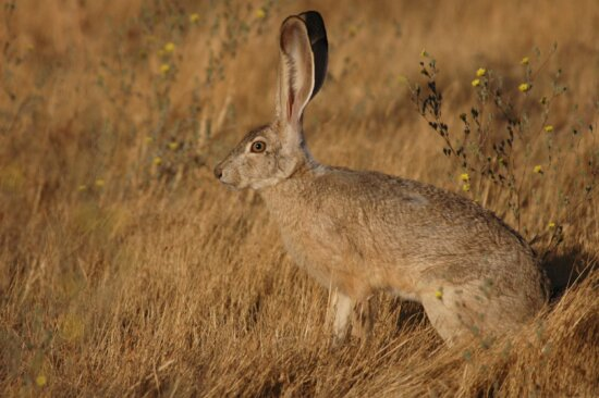 cola, liebre, Lepus, californicus, conejo
