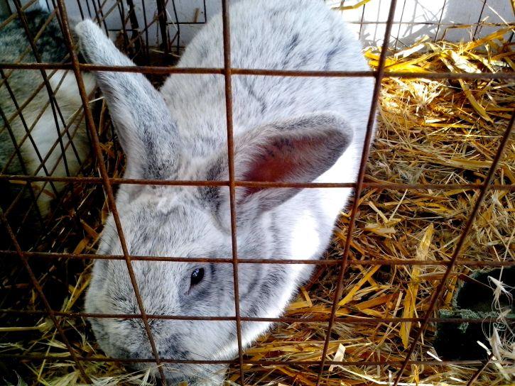 white, silver, rabbit, cage