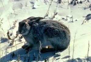 à queue blanche, jackrabbit, prairie, lièvre, blanc, cric, lepus, townsendii