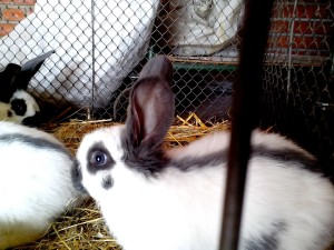 young, domestic rabbits