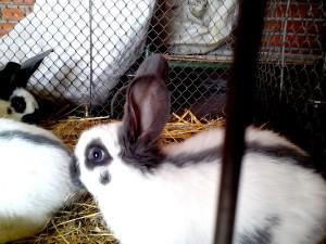 young, domestic rabbits