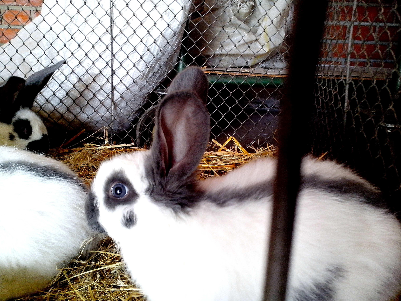 Free photograph; young, domestic, rabbits