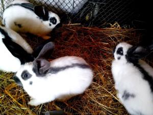 unge, indenlandske, hvid, sort, kaniner
