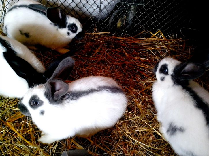 young, domestic, white, black, rabbits