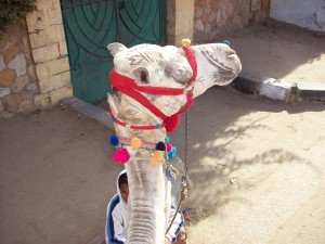chameau, tête, profil