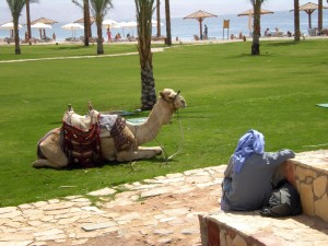 chameau, Egipt