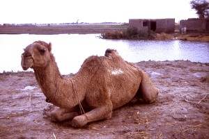 camel, relaxes, village, state, Gujarat, India