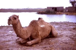 chameau, détend, village, état, Gujarat, Inde