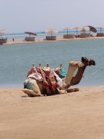 camels, animals, camelus dromedarius
