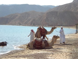 two, camels, beach