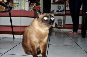 brun, chat domestique, maison