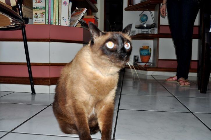 brown, domestic, cat, house