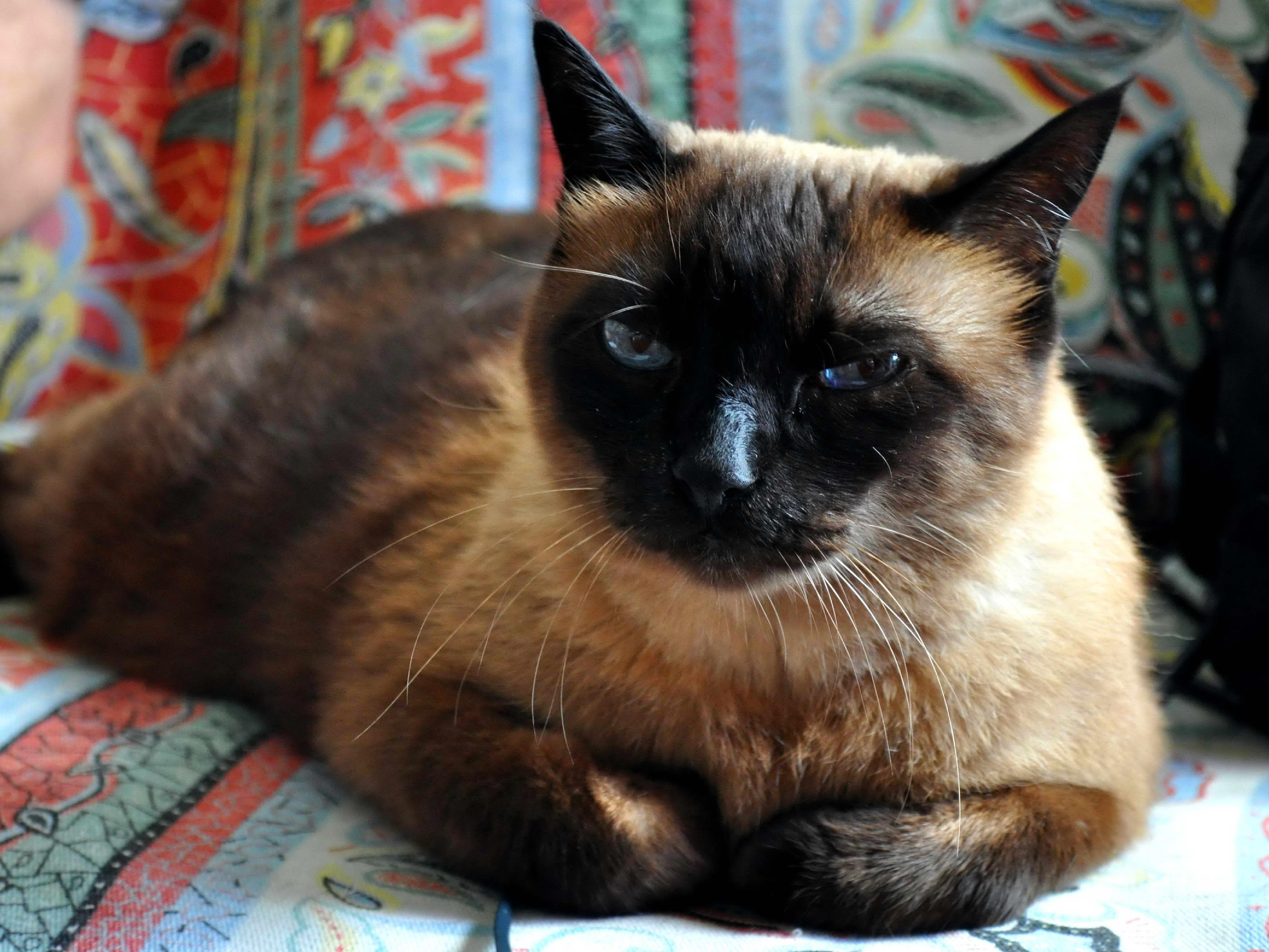 Free photograph; domestic, cat, pet