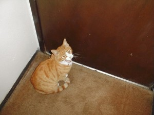 chat domestique, assis, porte