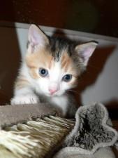 utforska, kattunge