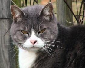 lemak, tabby, kucing