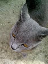 gray, cat, curious, face, close