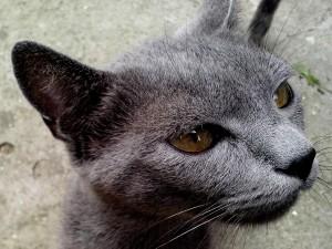 gris, chat, tête