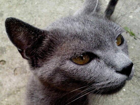 gris, gato, cabeza