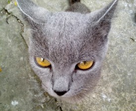 gray, cat, head, orange, eyes